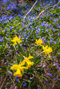 Spring wildflowers yellow daffodils and blue flowers glory of the snow blooming in abundance on forest floor ontario canada Stock Images