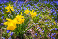 Spring wildflowers yellow daffodils and blue flowers glory of the snow blooming in abundance on forest floor ontario canada Royalty Free Stock Photo