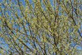 Spring willow tree branches against blue sky Royalty Free Stock Photo