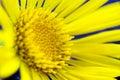 Spring yellow flower Royalty Free Stock Photo