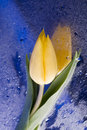 Spring  yellow tulip  blossom Royalty Free Stock Photography