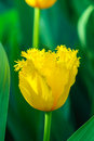 Spring yellow tulip Royalty Free Stock Photo