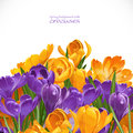 Spring yellow and violet crocuses background Royalty Free Stock Photo