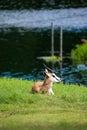 Springbok Antelope Royalty Free Stock Photo