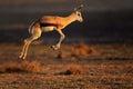 Springbok antelope jumping Royalty Free Stock Photo