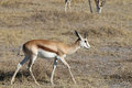Springbok antidorcas marsupialis in etosha national park namibia Stock Photos