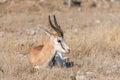 Springbok, Antidorcas marsupialis, laying between grass