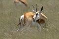 Springbok antidorcas marsupialis in south africa Stock Photography
