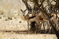 Springbok couple Stock Photos
