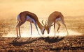 Springbok dual in dust kalahari desert south africa Royalty Free Stock Images