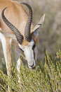 Springbok feeding time Royalty Free Stock Photo