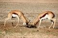Springbok fighting Africa Royalty Free Stock Photo