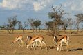 Springbok herd Stock Photos