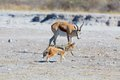 The springbok and the jackal in nxai pan np botswana Royalty Free Stock Image