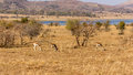 Springbok roaming freely in the dry savannah lands of pilanesberg national park south africa Stock Image