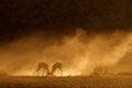 Springbok at sunrise Royalty Free Stock Photo