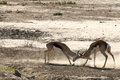 Springboks fighting in the kalahari desert Royalty Free Stock Image