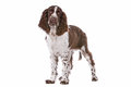 Springer Spaniel Royalty Free Stock Image