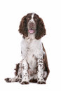 Springer Spaniel Stock Images
