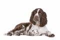 Springer Spaniel Royalty Free Stock Image