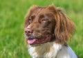 Springer spaniel brown and white dog Stock Image