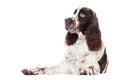 Springer spaniel dog Stock Photo