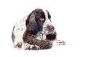 Springer spaniel dog with easter eggs Royalty Free Stock Images