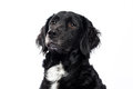 Springer spaniel mudi cross breed dog of and isolated on white background Royalty Free Stock Image