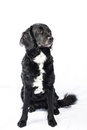 Springer spaniel mudi cross breed dog of and isolated on white background Stock Images