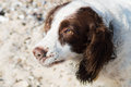 Springer spaniel portrait at a beach Royalty Free Stock Photo