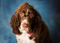 Springer spaniel portrait Royalty Free Stock Photo