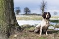 Springer spaniel sitting next to a tree Royalty Free Stock Photography