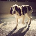Springer spaniel walking under sunlight Royalty Free Stock Image