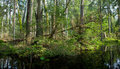 Springtime alder bog forest stand of bialowieza with standing water Stock Photography