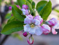Springtime an apple tree opens it s buds to flowers during Royalty Free Stock Photography