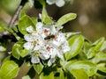 Springtime bee sits on an apple blossom Stock Photo