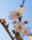 Springtime a blooming cherry tree at Royalty Free Stock Image