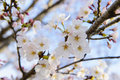 Springtime blooming a tree background Royalty Free Stock Photo