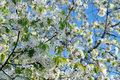 Springtime blossoms cherry tree blue sky Royalty Free Stock Images
