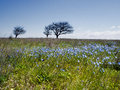 Springtime blue flowers and trees on the field and blue sky crimea Royalty Free Stock Photo