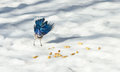 Springtime Blue Jay Cyanocitta cristata on melting corn snow,  attracted by offerings of peanuts, a favorite treat. Royalty Free Stock Photo
