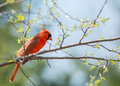 Springtime cardinal in a tree Stock Photo