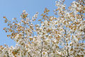 Springtime cherry tree against the clear blue sky Royalty Free Stock Photography