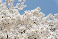 Springtime cherry tree against the clear blue sky Stock Images