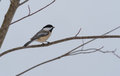 Springtime comes, Black cap chickadee, Poecile atricapillus, on a branch on a very early, grey spring day. Royalty Free Stock Photo