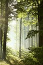 springtime deciduous forest in foggy weather oak trees covered with fresh green leaves lit by the rising sun morning mist and Royalty Free Stock Photo