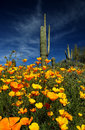 Springtime in the desert saguaro cactus arizona surrounded by california poppies bloom Royalty Free Stock Photo