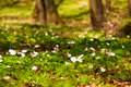Springtime forest the faget in the full with anemones it s a near cluj napoca romania Stock Photography