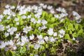Springtime in forest with small white blossoms and fresh green leaves of Wood-sorrel in forest Royalty Free Stock Photo