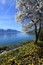 Springtime at geneva lake montreux switzerland yellow flowers and blooming tree see alps mountains in the background Stock Image